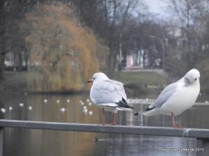 01_Möwen_Kuhmühlenteich_Hamburg